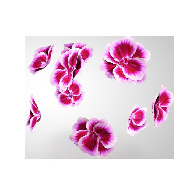 Einzelne Pink Kisses Blüten