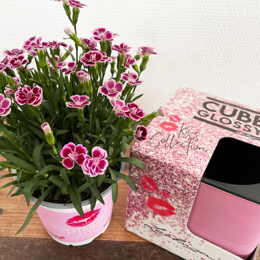 Darstellung einer Pink Kisses Mininelken im Topf und daneben ein nohc verpacktes Pflanzgefäß von Lechuza in Rosa